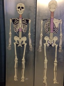 anatomy, skeleton magnets